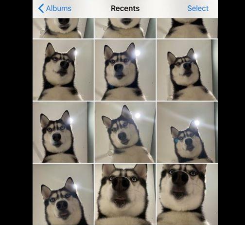 有網友透露自己忘了帶手機出門,沒想到回家一看竟然發現自家養的哈士奇犬自拍了20到30張的照片,超萌畫面讓許多網友笑翻了。(圖片擷取自「貝莉莉的挑食狗生」)