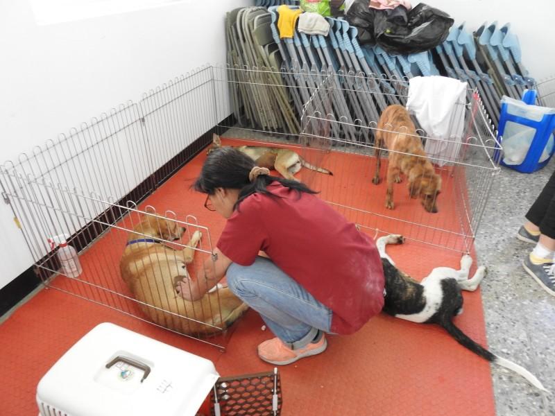 台灣之心愛護動物協會今起到台東展開7場次犬貓絕育。(記者黃明堂翻攝)