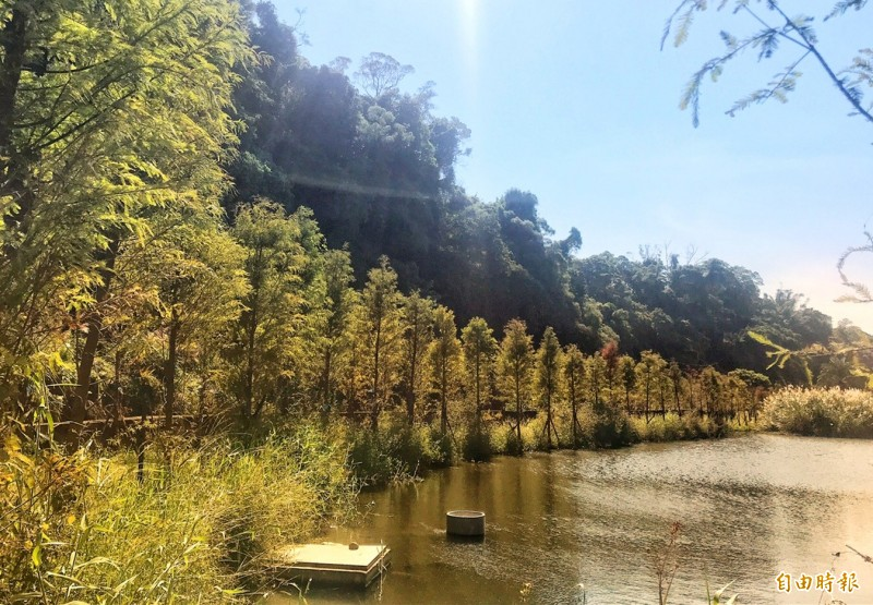 秋意正濃,逛完桃園花彩節大溪展區順道來看落羽松秘境。(記者李容萍攝)