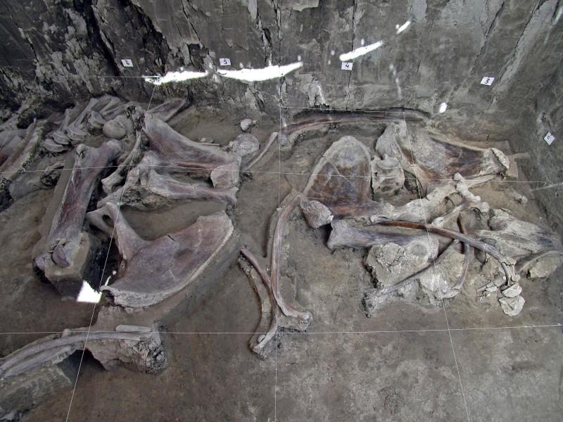 INAH表示,「這是有史以來發現最大規模的猛瑪象遺骸」,共有14頭猛瑪象、約800個骨頭。(法新社)