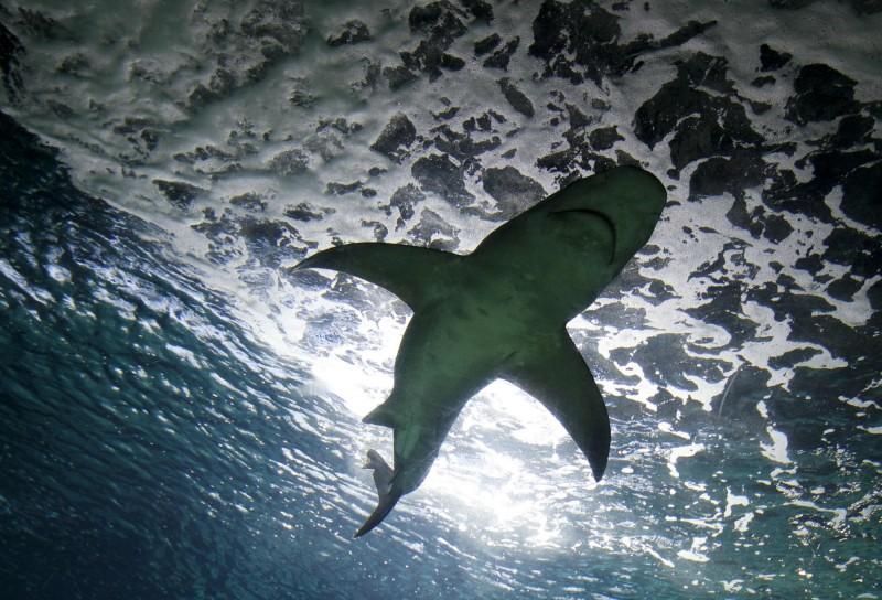 一名男子日前在法國留尼旺島游泳時失蹤,後來在一隻鯊魚腹內發現疑似他的手。示意圖。(路透)