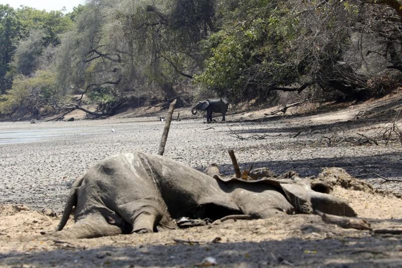 自9月以來,辛巴威當地的野生園區已有105頭大象因缺水、缺糧而死。(美聯社)