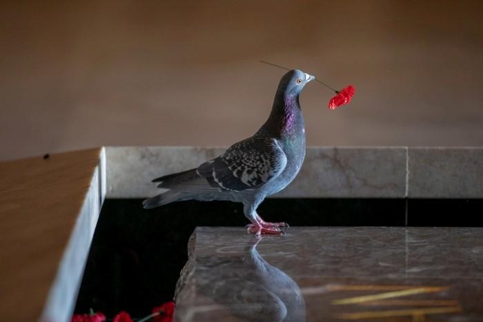 澳洲一隻鴿子叼走墓碑上的花。(路透)