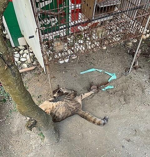 動保團體揭露「恐怖農家」害1貓中2捕獸夾。(台灣動物緊急救援小組提供)