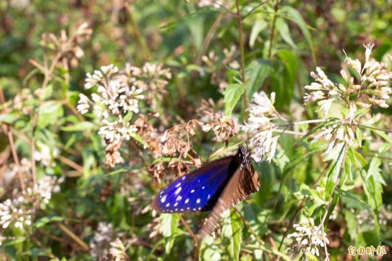 紫斑蝶大軍來了,數十萬紫蝶齊聚茂林紫蝶幽谷。(記者黃佳琳攝)