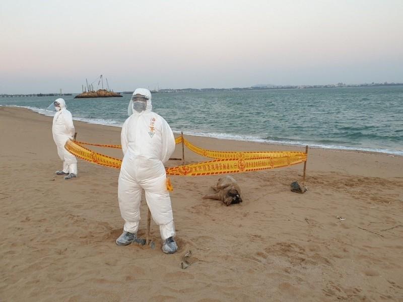 小金門將軍堡海灘6日發現海漂死豬,防疫人員在現場拉起封鎖線管制進出。(金門防疫所提供)