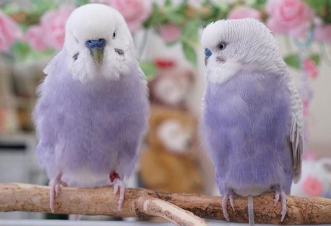 近日在日本有4隻可愛的「芋香鮮奶」鸚鵡在網路上引發熱烈討論,超夢幻的顏色彷彿是卡通裡才會出現的生物,可愛的模樣也融化不少網友,紛紛直呼「真的要融化了~」。(圖擷取自_akipooh_IG)