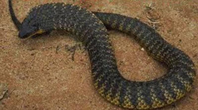 虎蛇主要分布於澳洲南部,特徵是身上有黃色和棕色的「虎紋」,能分泌強烈的「神經毒素」等劇毒,可以說是世界上最毒的毒蛇之一。(圖擷取自臉書)