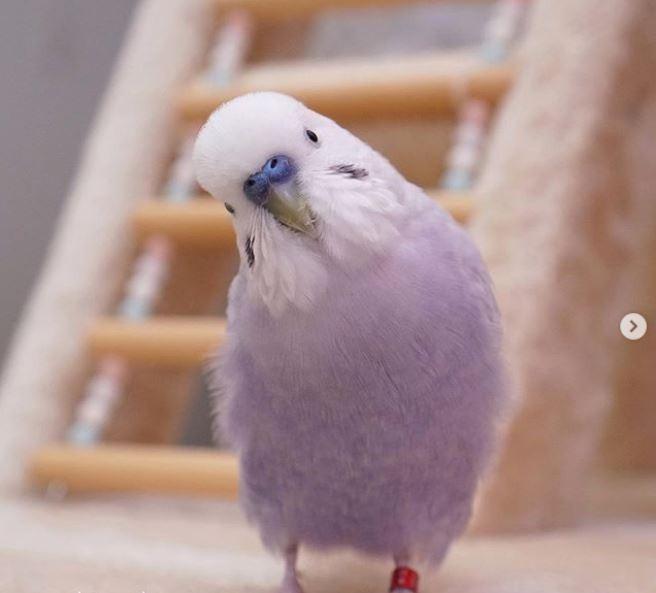 4隻萌鸚鵡的仙氣照吸引近5萬人追蹤。(圖擷取自_akipooh_IG)