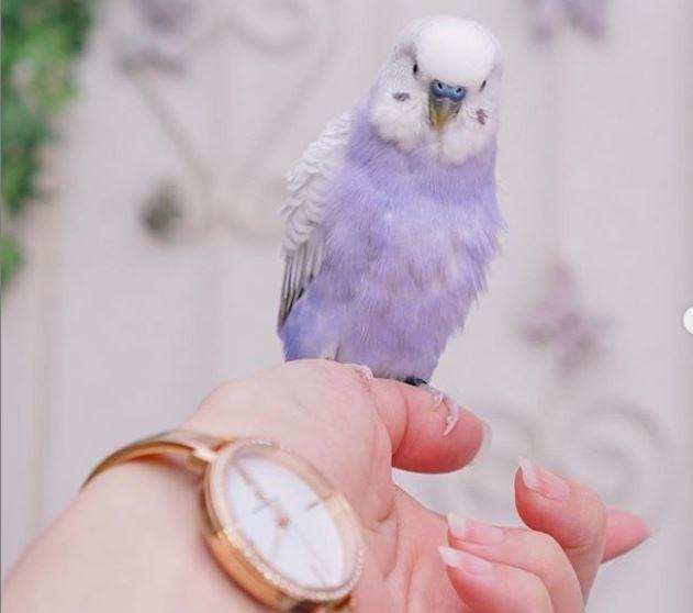 許多網友少女心噴發留言直呼「鸚鵡已經夠可愛了,居然還有這種顏色」、「看了心情都好了起來」。(圖擷取自_akipooh_IG)