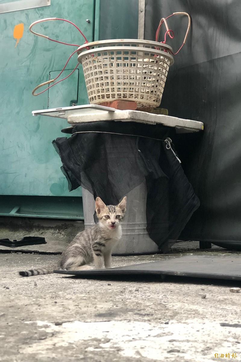 屏東縣政府攜手民間團體,提高同區域絕育數量,加強流量犬貓的源頭管控。(記者邱芷柔攝)
