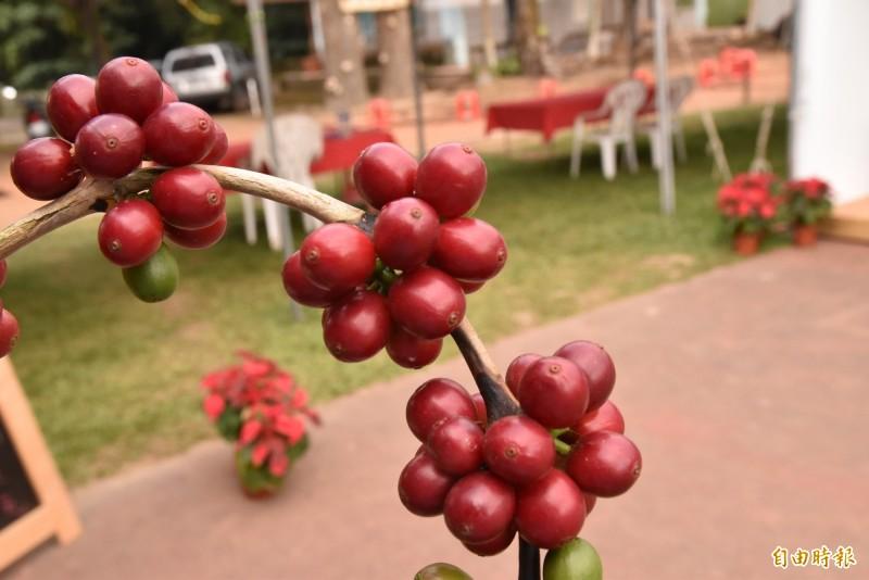古坑台灣咖啡紅了,國際台灣咖啡節在雲林古坑登場。(記者黃淑莉攝)