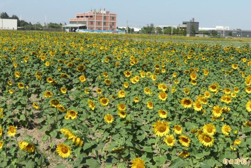 龍井中華路部份農田改種向日葵正盛開著(記者蘇金鳳攝)