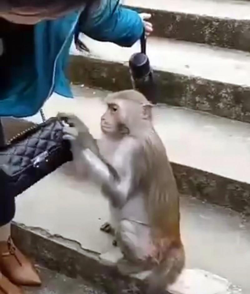 網傳影片中獼猴打開1名女遊客皮包搜找食物情形。(記者謝介裕翻攝)