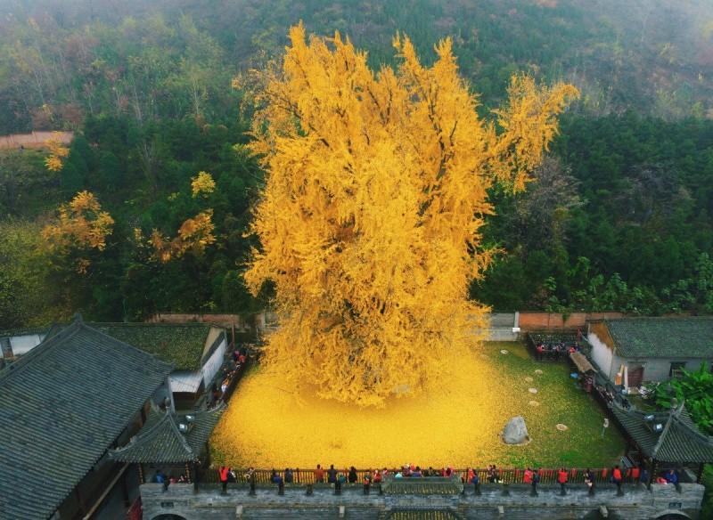 近期存在1400多年的銀杏樹空拍照片也曝光,但不少網友看完卻笑了,因為覺得這畫面真的太像「化糞池炸裂」。(圖片擷取自「Aesthetic Sharer ZhrArt」)