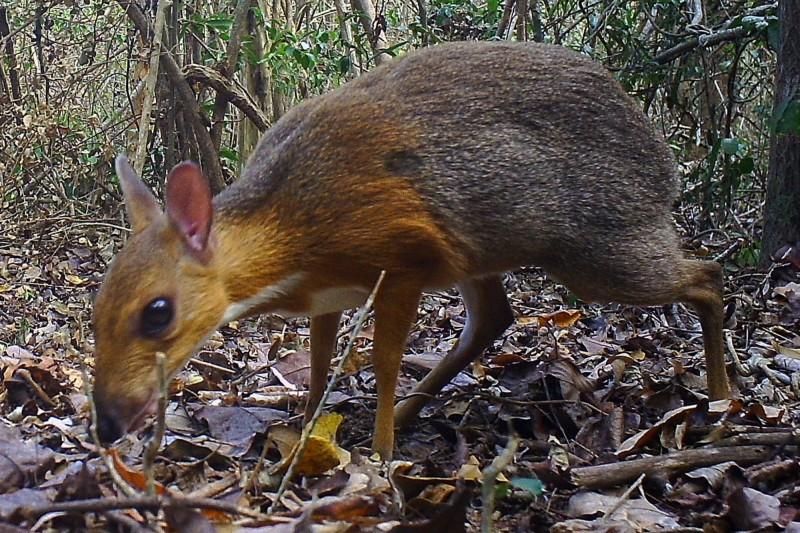 科學家在越南南部一片森林中,拍攝到類似鹿的稀有物種「銀背鼷鹿」,為近30年來首見。(法新社)