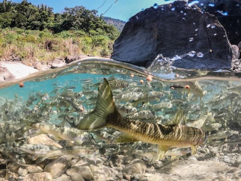 達娜伊谷鯝魚水中游的美麗景氣。(劉博文攝影提供)