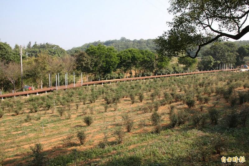 頭份興隆里、流東里為重要東方美人茶產地,頭份後花園內更有許多優質茶園及製茶廠。(記者鄭名翔攝)