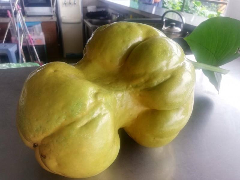 成熟果實重約5台斤。(記者江志雄翻攝)