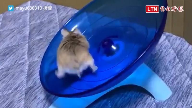 日本網友養的倉鼠跑轉盤不管被甩出去幾次都會回來跑。(圖片由推特帳號 mayu680310 授權提供使用)
