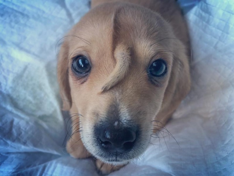 1隻僅10週大的流浪幼犬,牠的額頭竟長出一條尾巴,被命名為「獨角獸」。(圖擷自臉書「Mac the pitbull」)