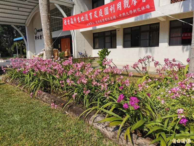 台南農改場在新化林場栽種新育成的苞舌蘭,相當成功。(記者吳俊鋒攝)
