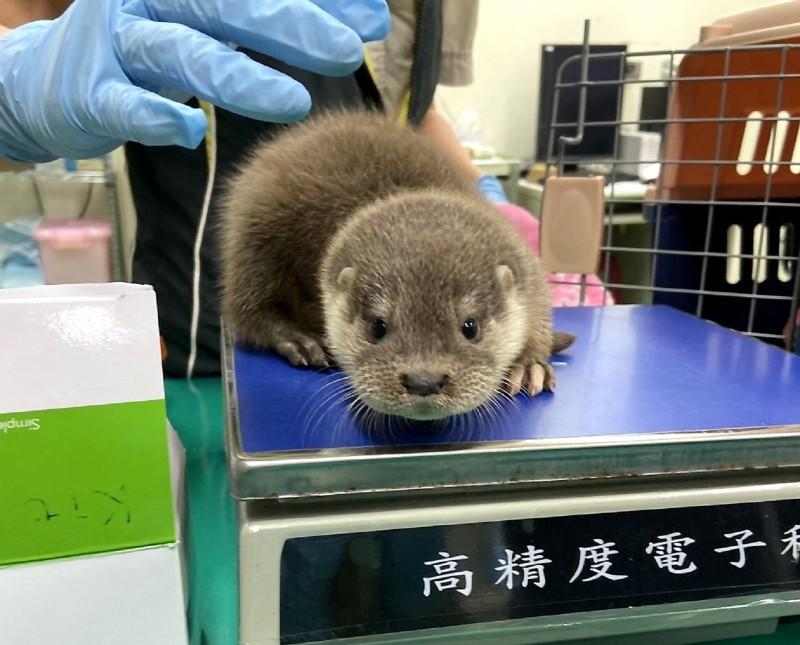 水獺寶寶測量體重。(台北市立動物園提供)