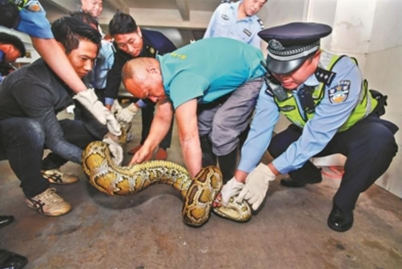 中國一條巨蟒長3公尺、重達19公斤,近日疑似因「太胖」撐破天花板而掉落,才被當地居民擒獲。(翻攝廣州日報)
