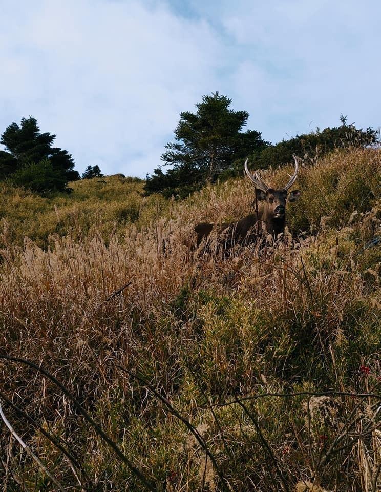 水鹿現身在合歡山松雪樓附近山坡,一對長長的鹿角十分醒目。(擷自Pais Istanda臉書)