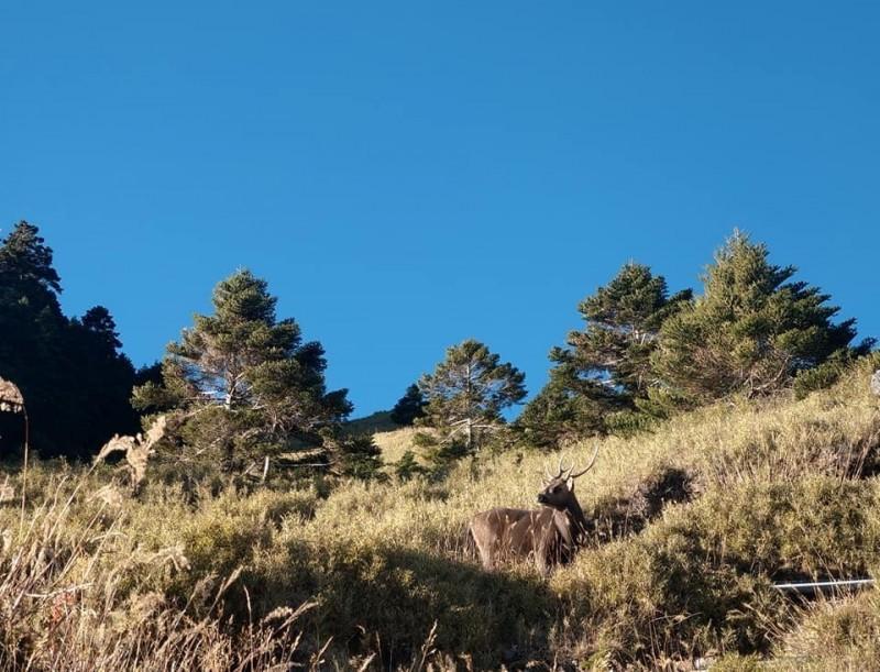 接近中午時分,台灣水鹿也在合歡山松雪樓附近現身。(擷自Pais Istanda臉書)