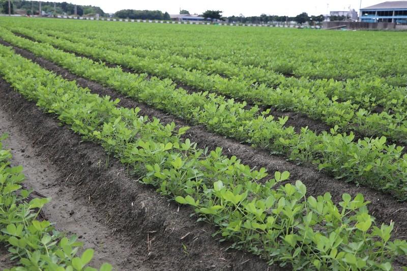 農糧署說,今年國內二期作花生受8月雨害減產,價格比去年同期上漲36%。(圖由農委會提供)