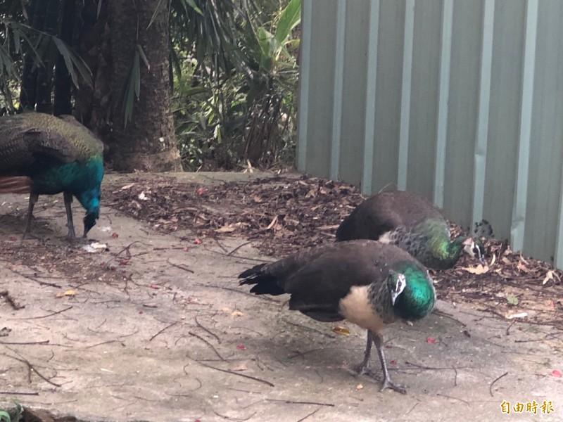 牠們完全不怕生攸閒的四處走動覓食。(記者許國楨攝)