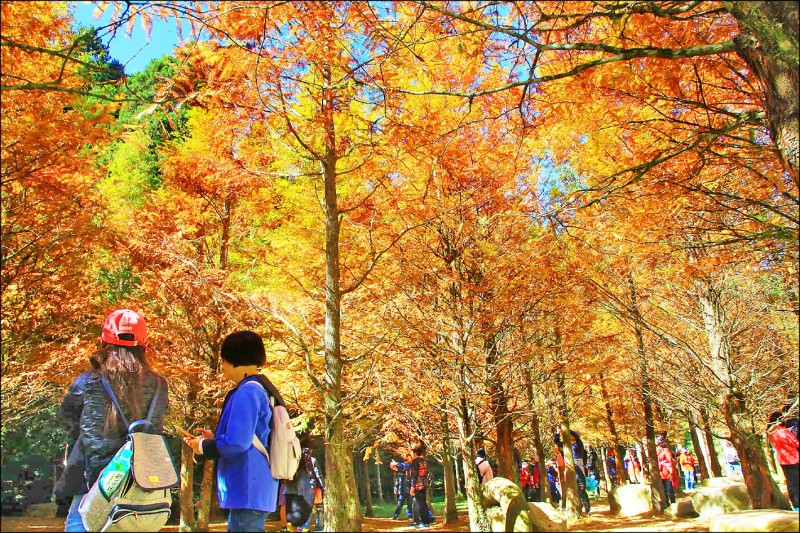 杉林溪園區水杉轉色大爆發,大片水杉都轉成金黃色,預計到本月底都是最佳觀賞期。(杉林溪渡假園區提供)