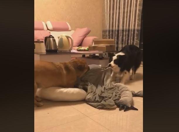 影片中兩隻體型不小的狗正在同心協力的拔河。(圖片擷取自爆料公社公開版)