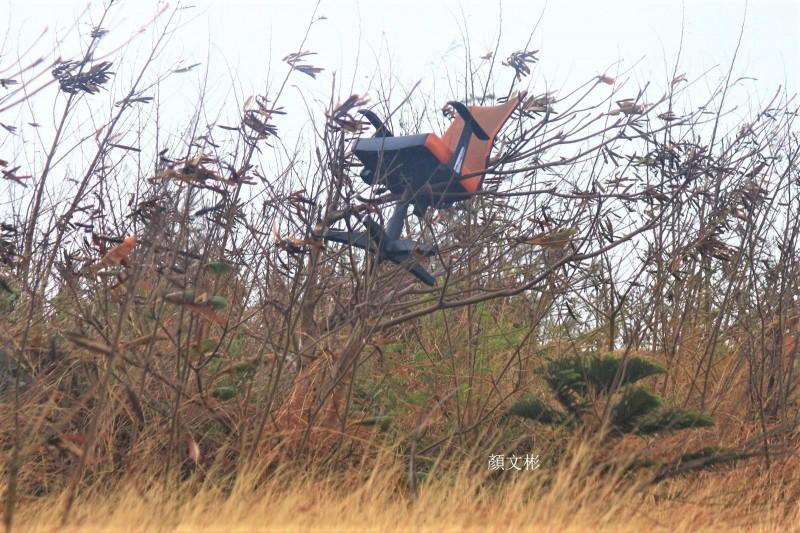 鎖港銀合歡林區出現辦公座椅,直接坐上樹頂的奇景。(顏文彬提供)