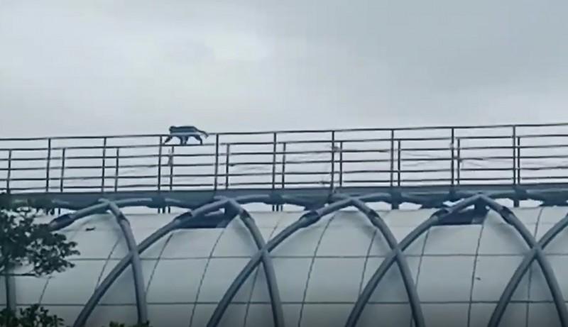 蘇花改工程的鼓音橋連接觀音及谷風隧道,橋梁下方30公尺就是觀音溪谷,有獼猴搶快,直接走上橋上的維修便道「抄捷徑」。(記者張議晨翻攝)