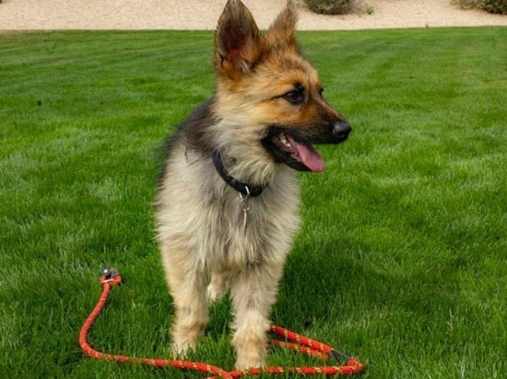 美國鳳凰城的德國牧羊犬「遊俠(Ranger)」,不論過了多久都是小狗狗模樣,原來牠得了罕見疾病,才會無法脫離幼犬階段。(圖擷自「ranger_thegshepherd」IG)