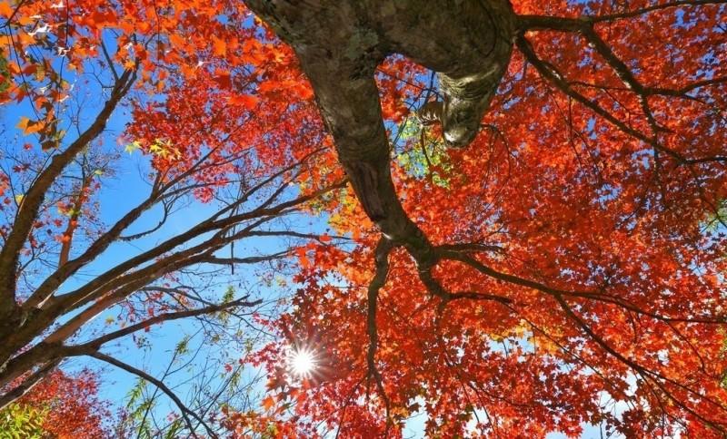 阿里山公路旁的青楓,因低溫已報到、日夜溫差大,紅得似火。(黃源明提供)