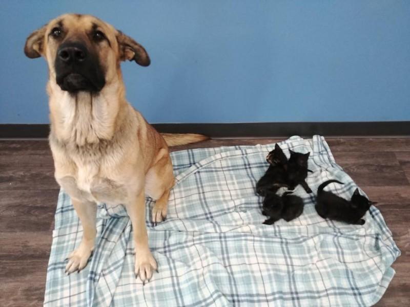 這隻約2歲大的米克斯母狗被收容所取名為「寧靜(Serenity)」。一週前,牠在安大略省沙塔(Chatham)附近鄉間路邊被人發現在路邊瑟瑟發抖,身下還依偎了5隻小貓。(擷取自臉書「Pet and Wildlife Rescue」)