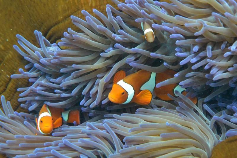 研究顯示,小丑魚和其棲地將因海水升溫大量消失。(法新社)