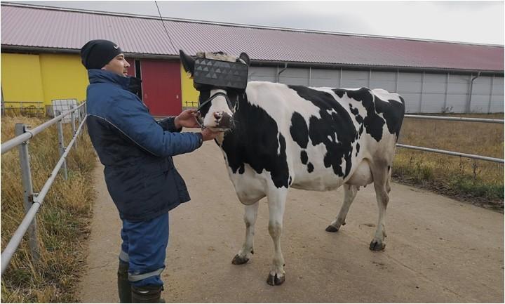 農夫讓乳牛戴上改裝過VR眼鏡,透過虛擬實境技術展示夏季的田野畫面。(圖取自俄國政府網站)