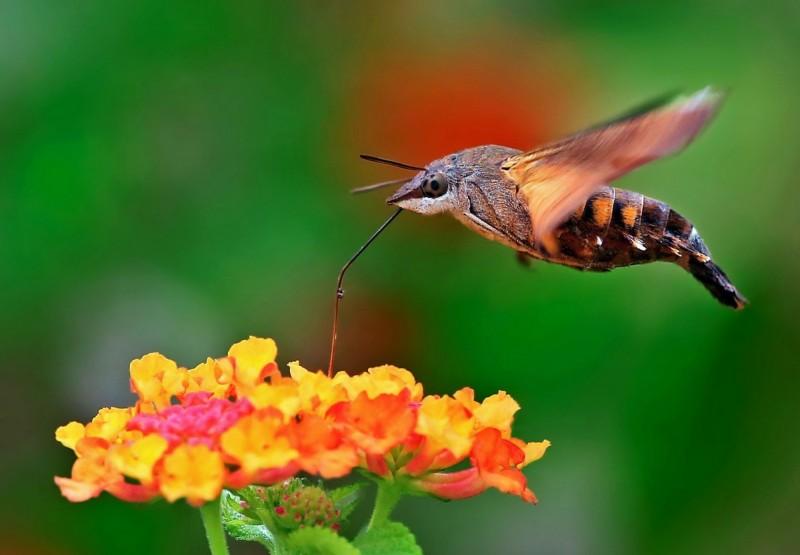 正在吸蜜的長喙天蛾,透過超微距鏡頭,精彩呈現,卻常被誤認是蜂鳥,成為趣味插曲。(范朝棟提供)