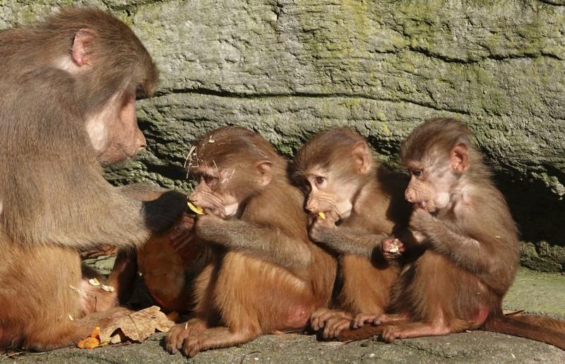 日本鹿兒島一名動物實驗技術員感染「人猴共通」疱疹B病毒感染症,為日本境內首例,圖為示意圖。(美聯社)