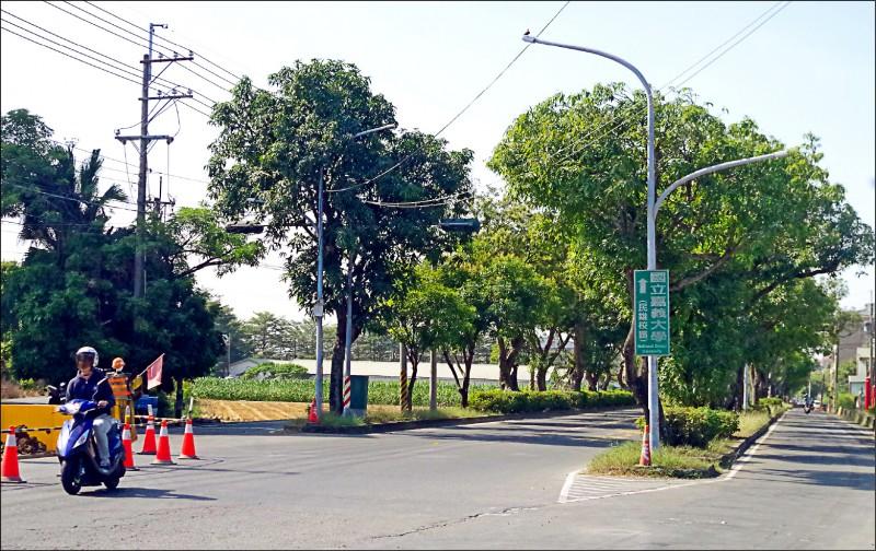 民雄鄉大學路二段沿線七十九棵百年芒果樹,將由民雄鄉公所負責移植到豐收村一處農路。(記者王善嬿攝)