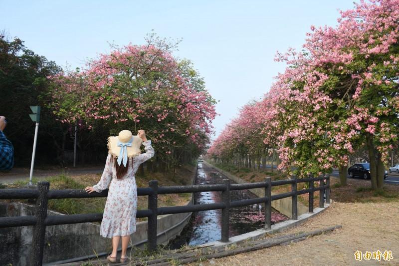 長約2公里美人樹盛開相當浪漫,吸引民眾拍美照。(記者林國賢攝)