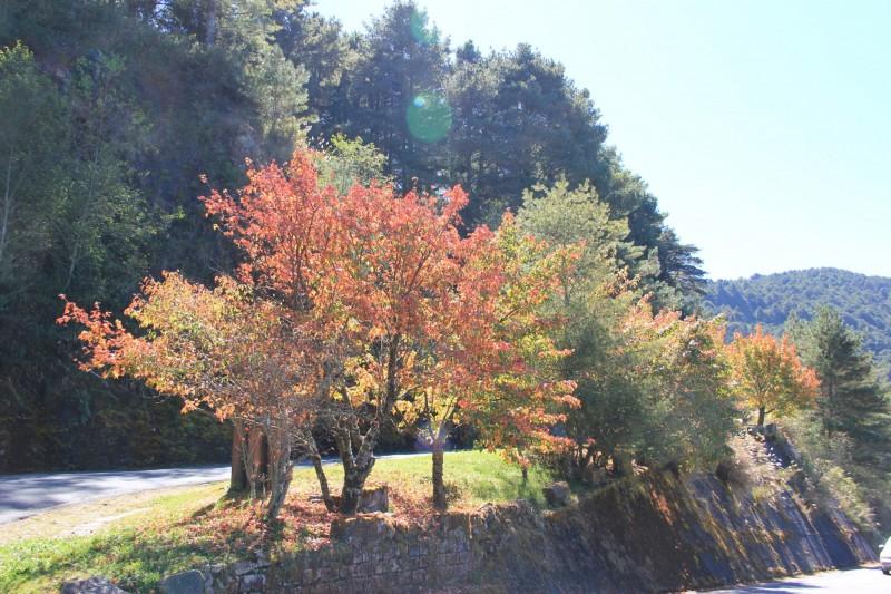 玉山國家公園塔塔加園區,近期低溫使得園區紅榨槭等變葉植物都變色轉紅。(玉管處提供)