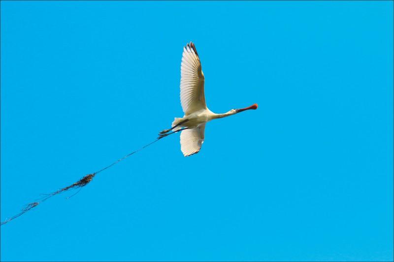 一隻黑面琵鷺的腳被漁網纏住。(鳥友蔡文賢提供)