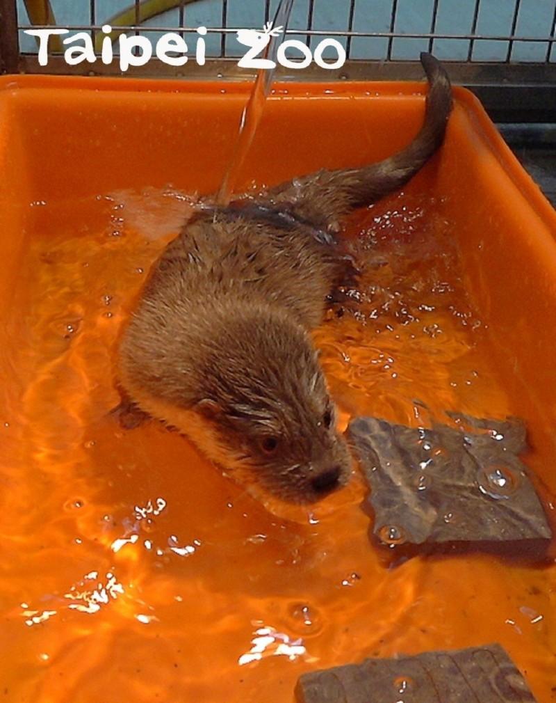 金門小水獺玩水中。(動物園提供)