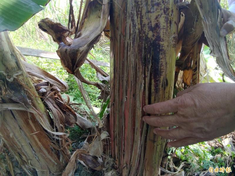現場很多香蕉樹幹上都有留下明顯的動物抓痕。(記者蔡文居攝)