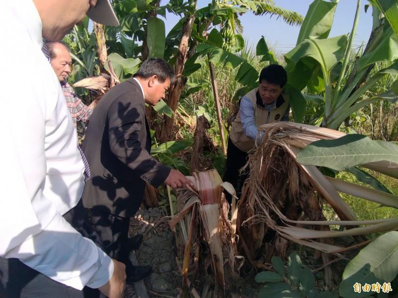 香蕉園被破壞,議長郭信良(中)會同相關單位人員前往查看。(記者蔡文居攝)